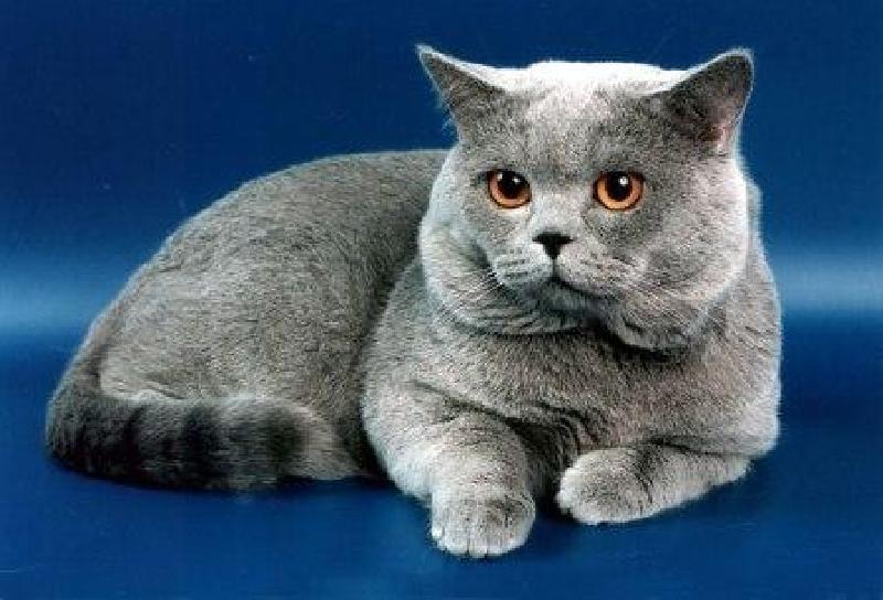 Британские кошки - едва ли не самая популярная порода из тех, что живут...