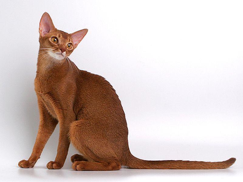 Абиссинские кошки - это короткошерстные кошки среднего размера с